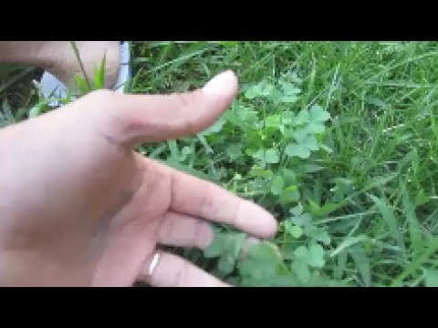 Why Clovers are good for your grass WHAT??