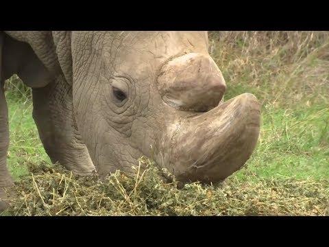 Sudan, the world's last male northern white rhino, dies
