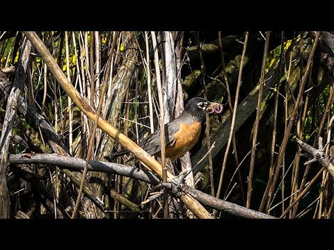 North American Robin Feeding Babies In Nest