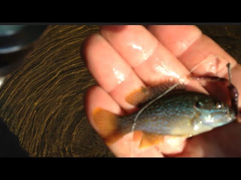 Beautiful Rockbass Alabama creek fishing catch and release