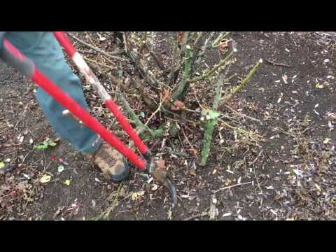 How To Trim Knock Out Roses For The Winter