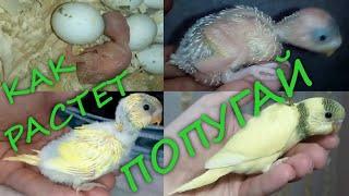 Птенец волнистого попугая. рост от вылупления до 29 дней. Budgie chick from 0 to 29 days