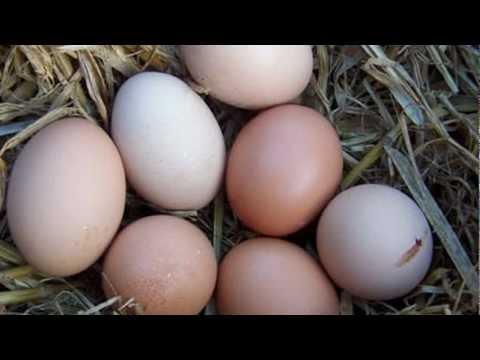 8 Best Egg-Laying Chicken Breeds