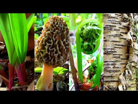 Wild Spring Delicacies- Ramps, Morels, Fiddleheads, Birch Sap