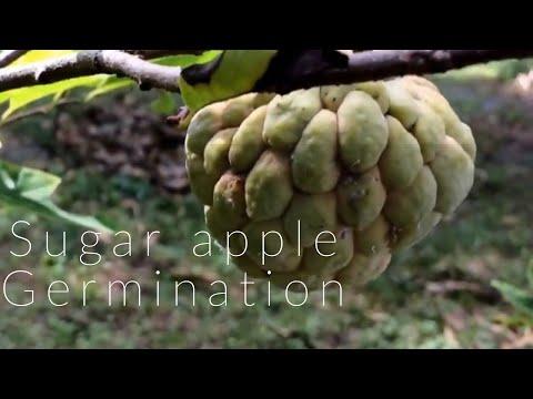 Fastest way to germinate sugar apple fruit seeds