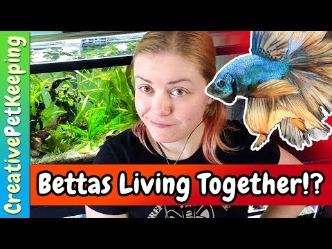 Can you keep MALE and FEMALE betta fish together?