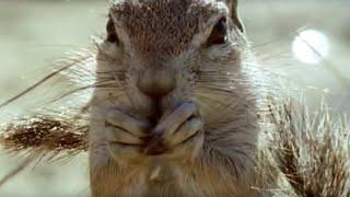 Ground Squirrels tease a Cape Cobra | Wild Africa | BBC