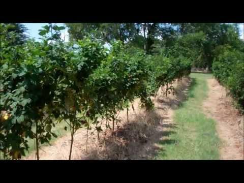 How To Trellis Blackberries and Raspberries