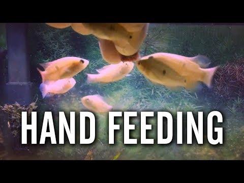 Hand Feeding Baby Red Jewel Cichlids