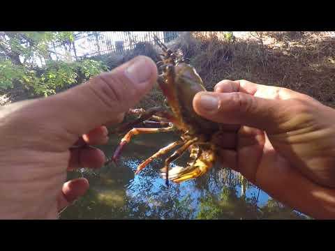 Crawfish caught by hand