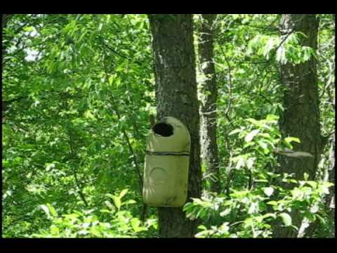 Great Crested Flycatcher Building a Nest in a Wood Duck Box