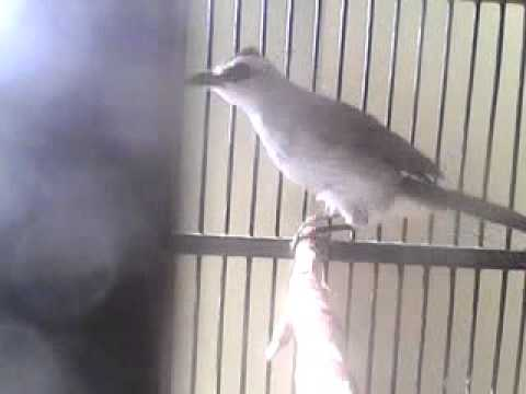 Xxx Mp4 Bunyi Burung Crokcokan 3gp 3gp Sex