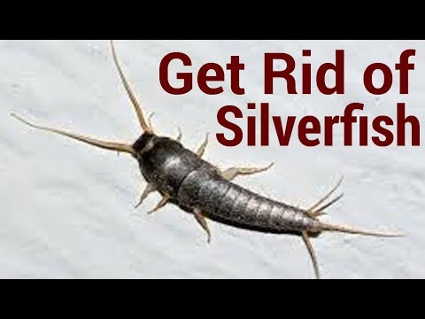 How to Get Rid of Silverfish   6 Ways To Get Rid Of Silverfish