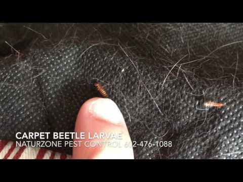 Carpet Beetle Larvae Inside Home - Weird Bugs