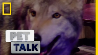 Wolf Dogs are a Dangerous Trend | Pet Talk