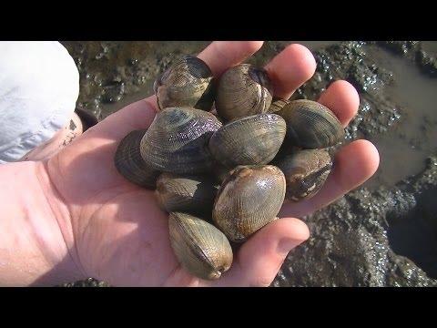 WA (Shell)fish Quest EP 14: Manila Clam