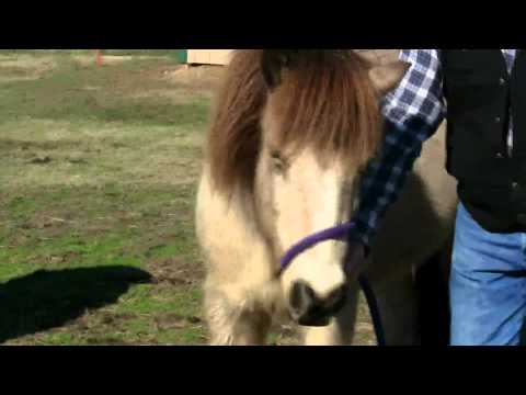 How to make a fast temporary halter out of a lead rope !  Stall13.com videos