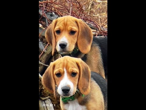 Skyview's Beagles Fanny Solo With 11 Week Old Pups Tagging Along