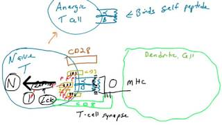 Anergic Self-reactive T cells