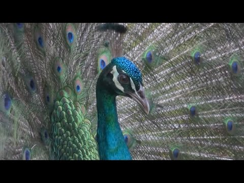 Peacock in the spring