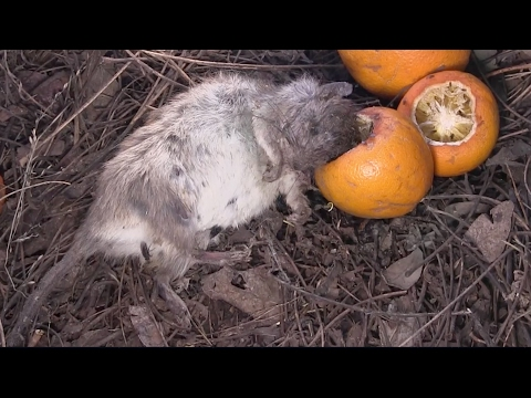 Protecting an Orchard -- I Kill Squirrels and Rats with IEDs