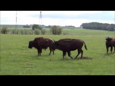 Bison in Alberta, Canada