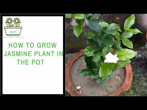 How to grow Jasmine plant in the pot with care | Rooftop Organic Garden