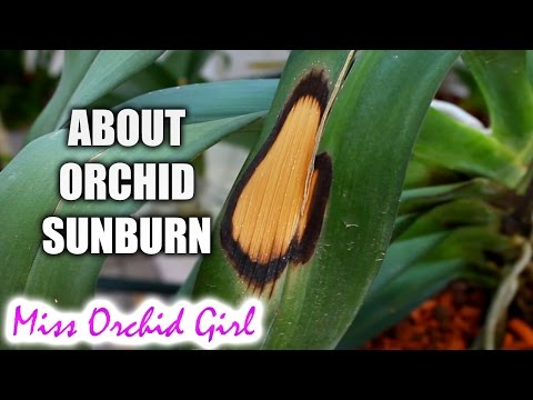 Sunburn on Orchid leaves - causes, prevention, treatment