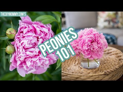 PEONIES 101   How to get ants off peonies, how to make them bloom later & more!