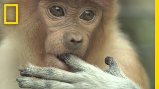 Watch: Most Monkeys Don't Swim, But These Do | National Geographic