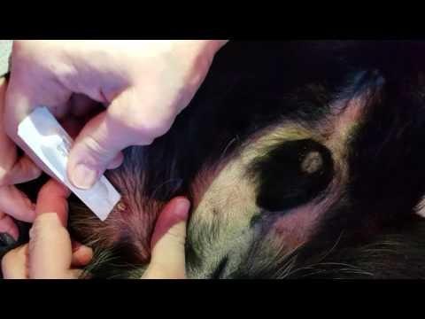 Removing tick with no tweezers!