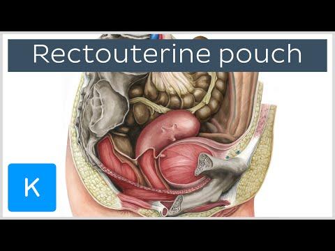 Rectouterine pouch (rectouterine excavation, pouch of Douglas) - Human Anatomy  Kenhub