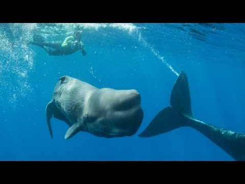 Remarkable Footage Of Sperm Whale Giving Birth