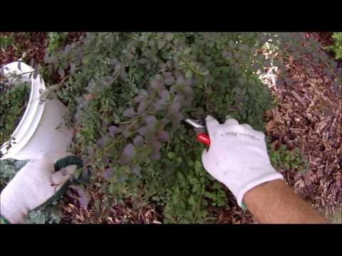 Natural look pruning Rosy Glow Barberry