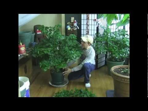Final Tip for Super strong HUGE pepper plants!