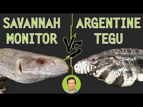Savannah Monitor vs Argentine Tegu - Head To Head