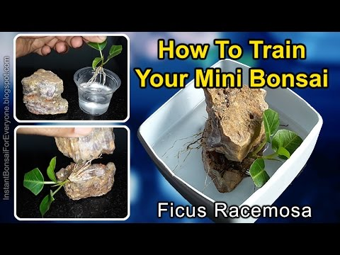 How To Train Your Ficus Mini Bonsai For Root Over Rock Style