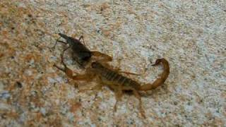 Download Scorpion, stinging and eating a ″kissing″ or ″assassin″ bug Video