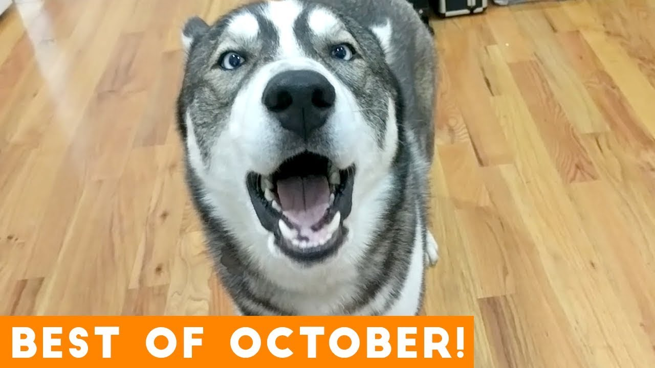 Ultimate Animal Reactions & Bloopers of October 2018   Funny Pet Videos