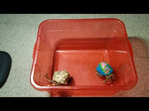 (Hermit crabs)
