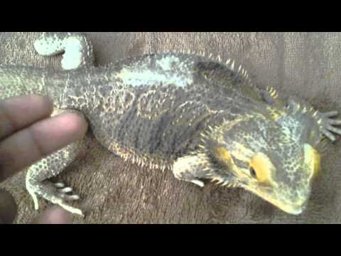 How To Clear Constipated and Impacted Beardies/Bearded Dragons