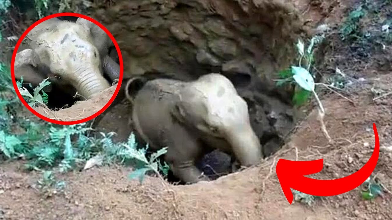 Baby Elephant Stuck In A Muddy Hole Gets Help From An Unexpected Source