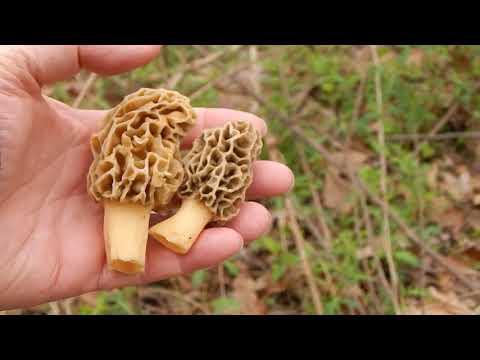 Morel Mushroom 2018 - It's a Shroom Boom!