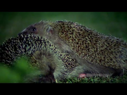 Hedgehogs Mating With Great Care | Life Of Mammals | BBC Earth