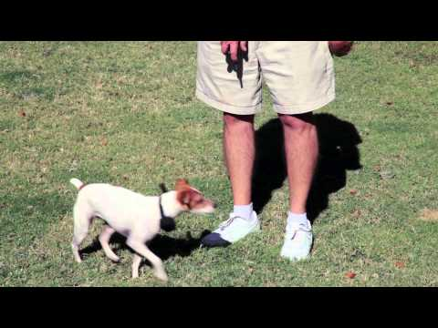 How to Train a Jack Russell Terrier : Dog Training Musts