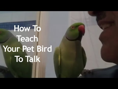 How to teach your pet bird to talk