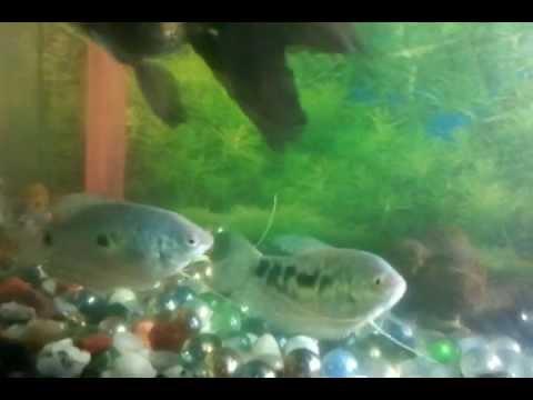 Blue gouramis male or female???
