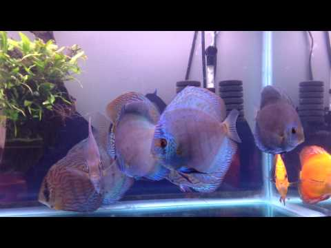 Discus in tap water