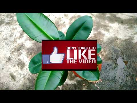 How to grow and care for a Rubber Tree/Ficus Elastica (Beginning till end)