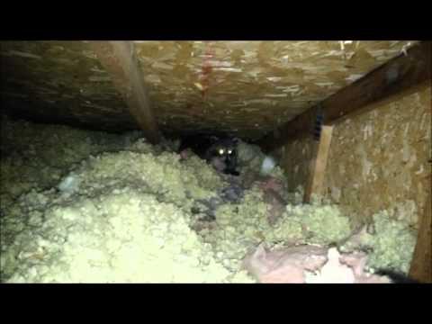 Mother Raccoon Standing Her Ground in Attic